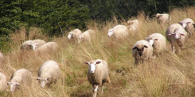 Nog meer schapen