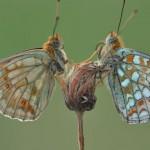 Ruurd Visser, vlinders