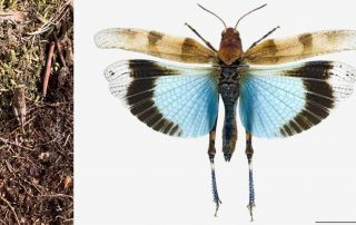 blauwvleugelsprinkhaan